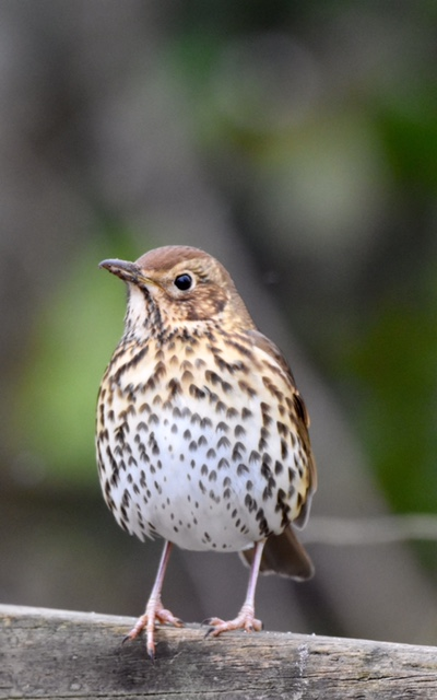 Song Thrush by Peter Hyde - Feb 8th, Hamble