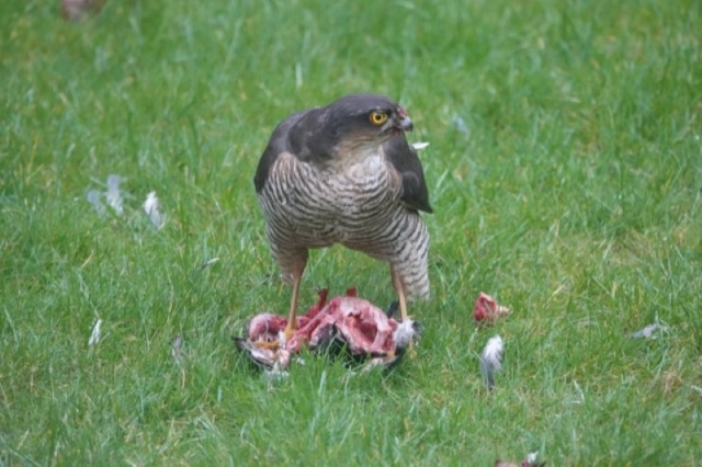 Sparrowhawk by Malcolm Coleman - Feb 17th, Hampshire