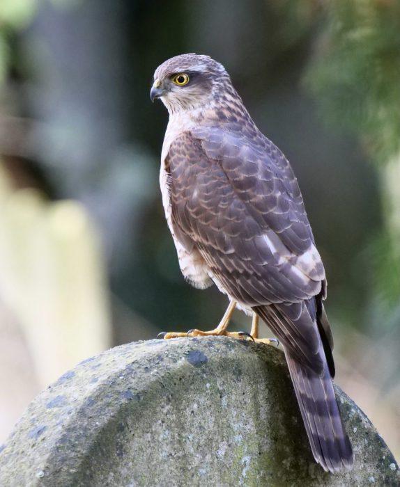 Sparrowhawk by Rob Porter-Feb 5th, Southampton Common