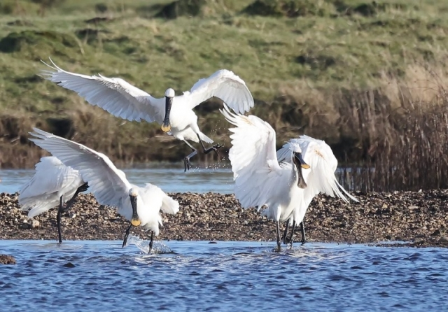 Spoonbill by Terry Jenvey - Feb 18th, New Forest