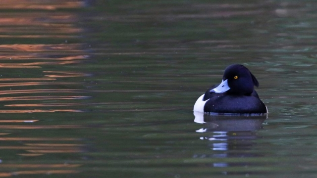 Tufted Duck, by Chris Rose - Jan 31st, Four Marks