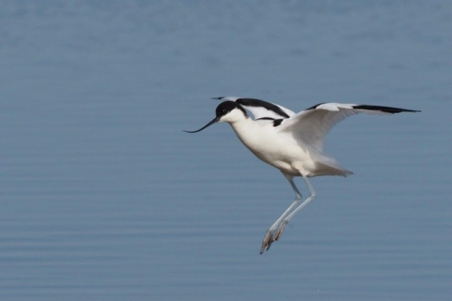Avocet by Gordon Small - Mar 22nd, Fishtail Lagoon