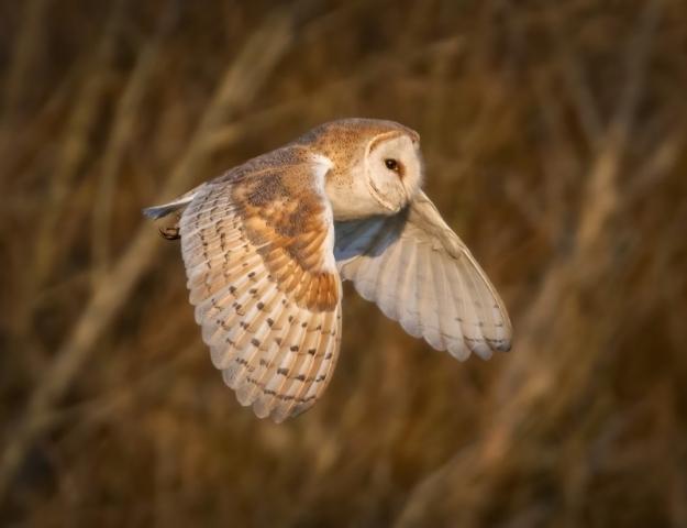 Barn Owl by Steve Payce - Mar 7th, Titchfield canal path