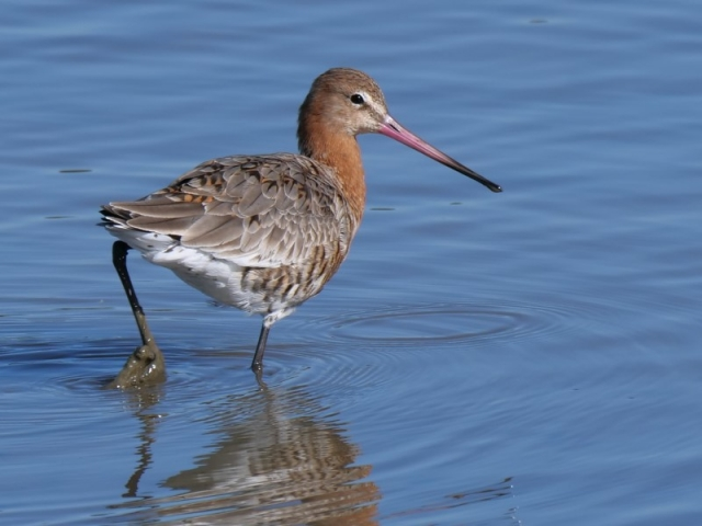 Black-tailed Godwit by Rob Porter-Mar 9th, Hook-with-Warsash