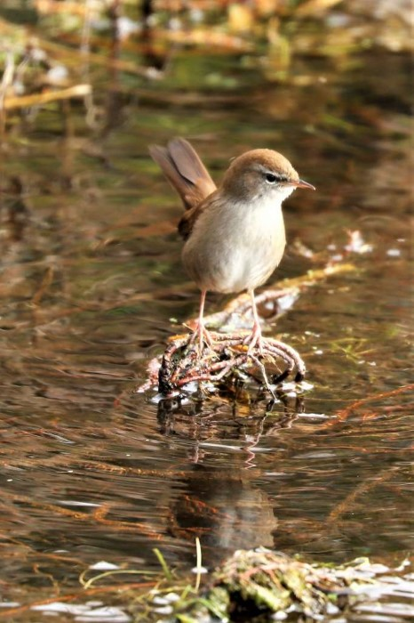 Cetti's Warbler by Brian Cartwright - March, Anton Lakes