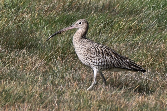 Curlew by Andy Tew - Mar 16th, Normandy Marsh