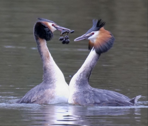Great Crested Grebe by Rob Porter-Mar 17th, Lakeside, Eastleigh