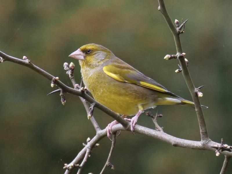 Greenfinch by Rob Porter - Mar 18th, Southampton Common