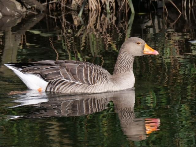 Greylag Goose by Rob Porter-River Itchen, Mansbridge