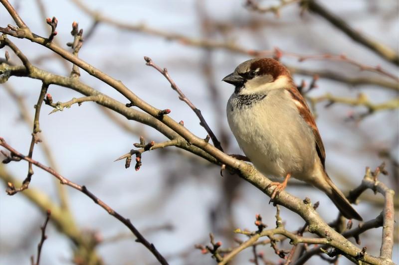House Sparrow by Brian Cartwright - Feb 23rd, Anton Lakes