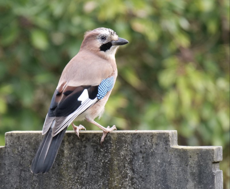 Jay by Rob Porter-March 3rd, Southampton Old Cemetery