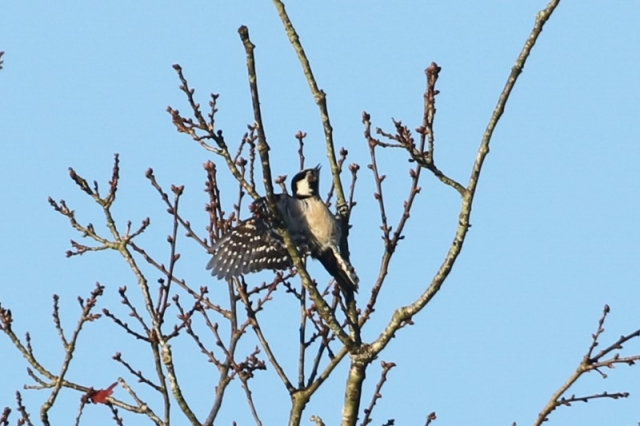 Lesser Spotted Woodpecker by Chris Rose - Feb 27th, Acres Down