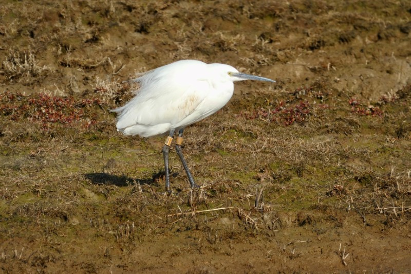 Little Egret by Dimitri Moore - Mar 6th, Normandy Marshes