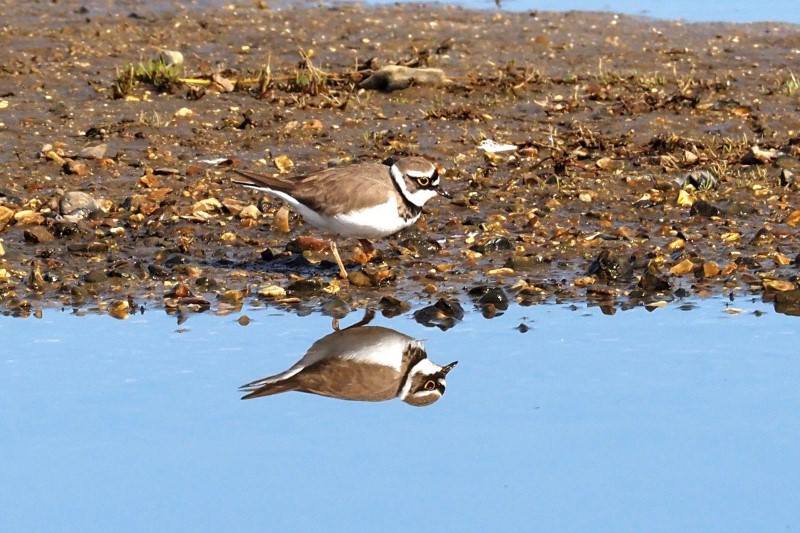 Little Ringed Plover by Gordon Small - Mar 22nd, Fishtail Lagoon