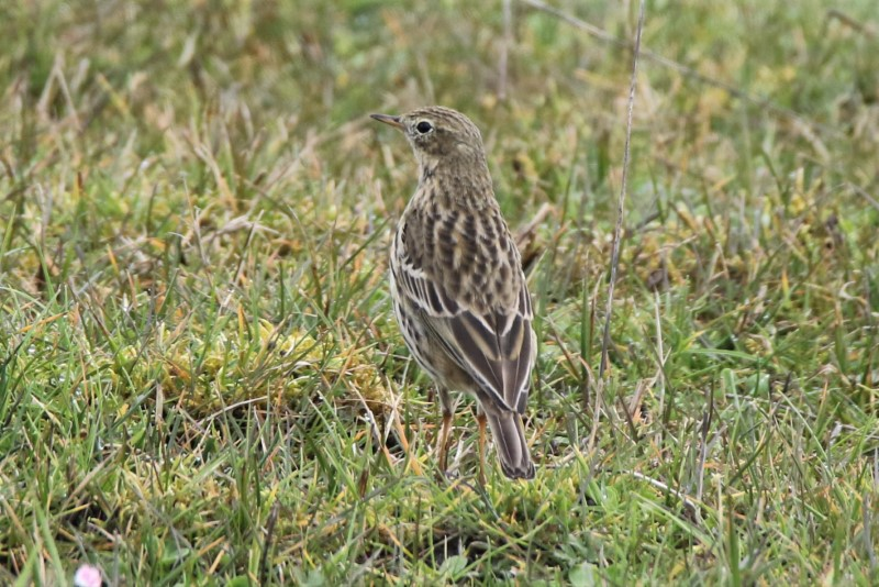 Meadow Pipit by Andy Tew - Mar 16th, Normandy Marsh