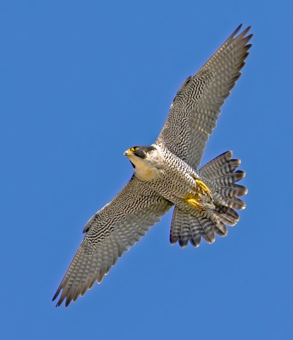 Peregrine by Steve Payce - Mar 22nd, Portsmouth