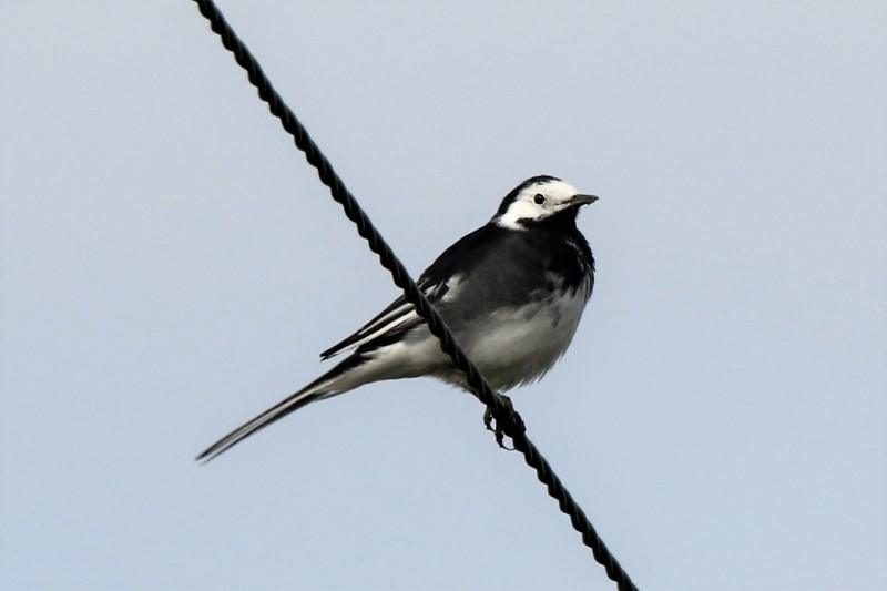 Pied Wagtail by Andy Tew - Mar 8th, Moorcroft Farm