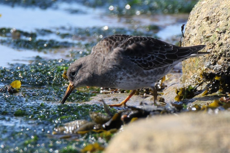 Purple Sandpiper by Andy Tew - Mar 19th, Southsea Castle