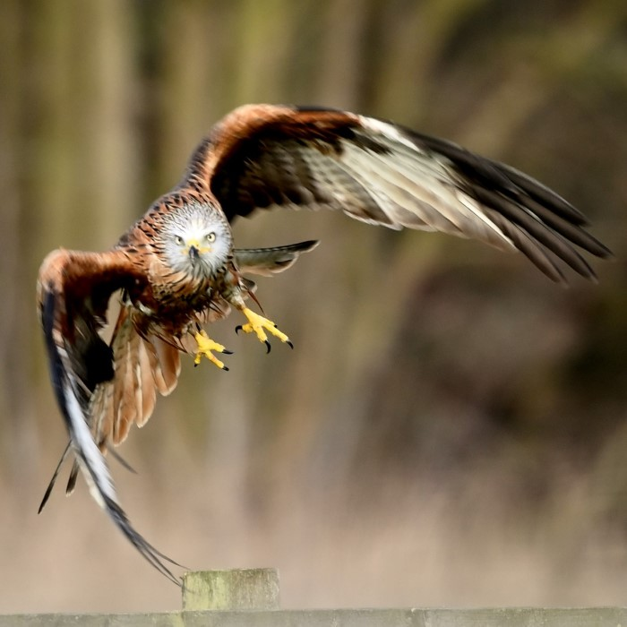 Red Kite by Philip Scourfield - Mar 10th, Bramshill