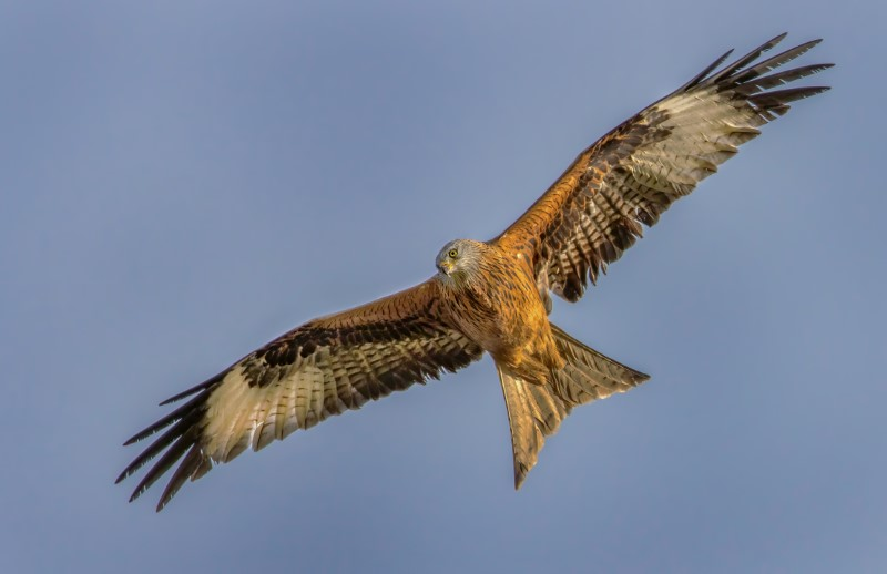 Red Kite by Steve Payce - Feb 3rd, South Downs