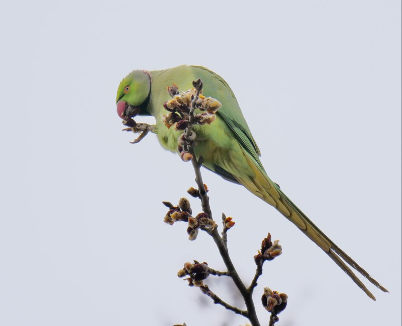 Ring-necked-Parakeet by Rob Porter-March 3rd, Mansbridge