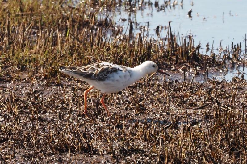 Ruff by Gordon Small - Mar 22nd, Fishtail Marsh