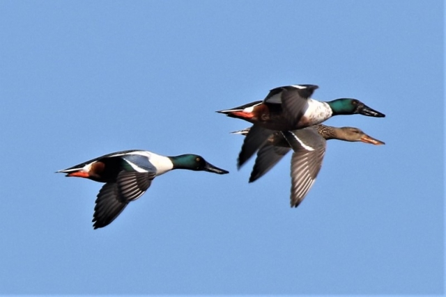 Shoveler by Andy Tew - Mar 9th, Pennington Marshes