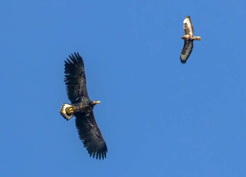 White Tailed sea Eagle by Steve Payce - Mar 9th, Titchfield