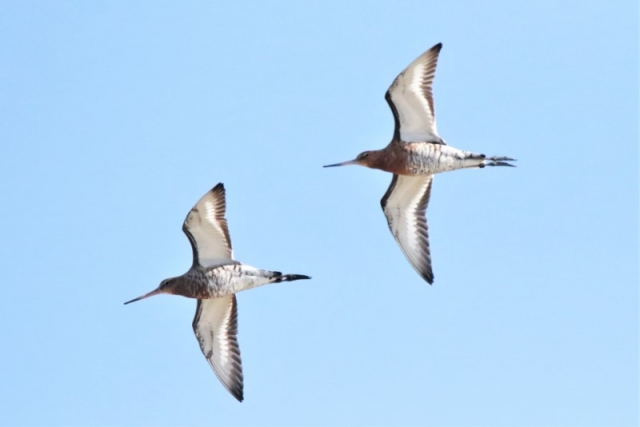 Black-Godwit 22nd March Normandy A.Tew