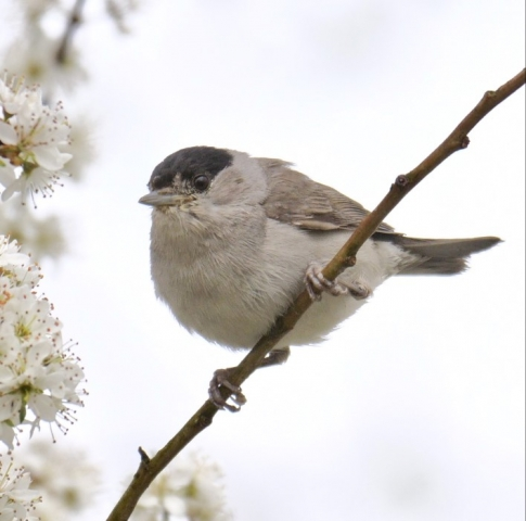 Blackcap by Rob Porter-Apr 19th, Lower Test Marshes