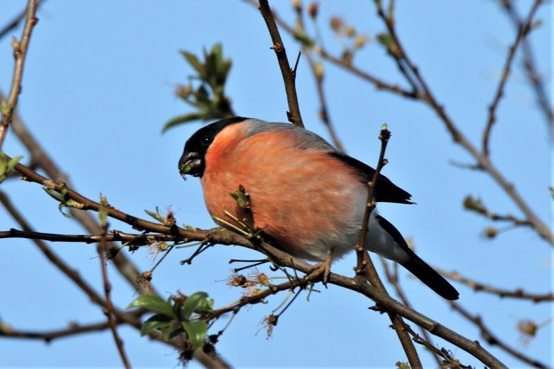Bullfinch Fishlake 4th April Andy Tew