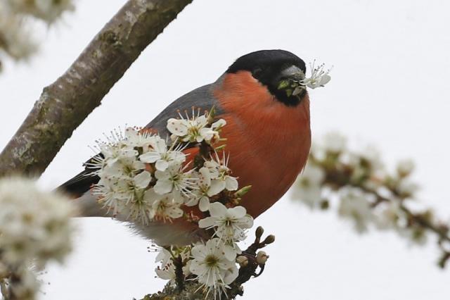 Bullfinch - Fishlake Meadows 3rd April C Rose