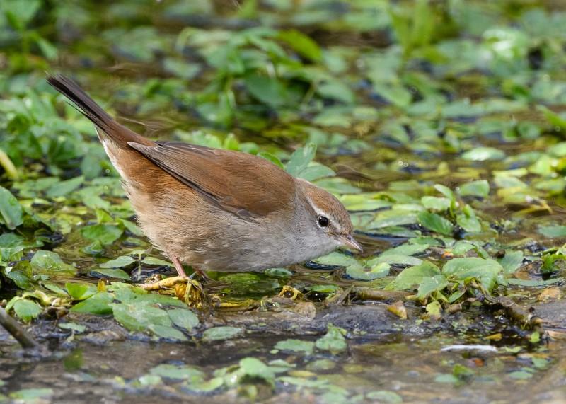 Cetti's Warbler Fishlake Meadows Gareth Rees