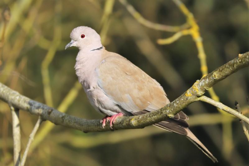 Collared Dove by Brian Cartwright 30th Mar Anton Lake