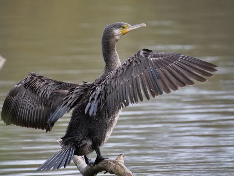Cormorant by Rob Porter-April 7th, Southampton Common