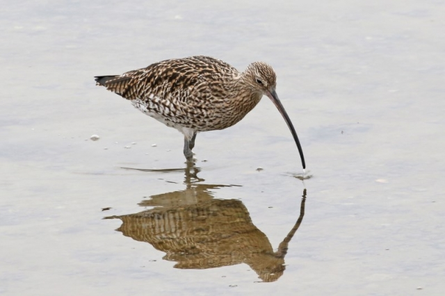 Curlew - Normandy Marsh 20th March C Rose