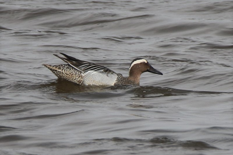 Garganey Oxey Lagoon 1st April A.Tew