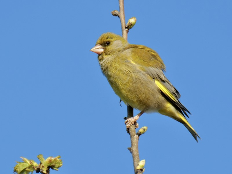 Greenfinch by Rob Porter-4th April, Skidmore, Lee