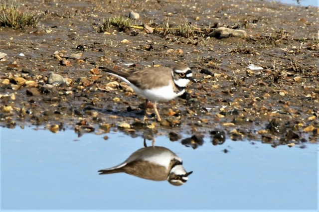 Little Ringed Plover 22nd Normandy A.Tew