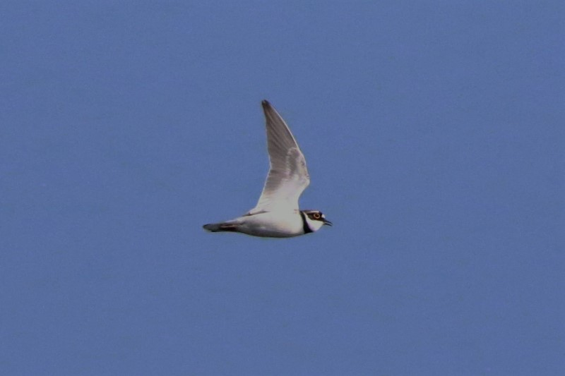 Little Ringed Plover Apr 19th Pennington A.Tew