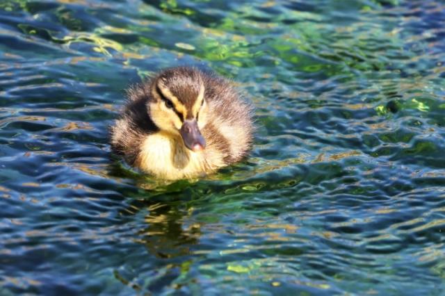 Mallard by Brian Cartwright 29th Mar Anton Lake