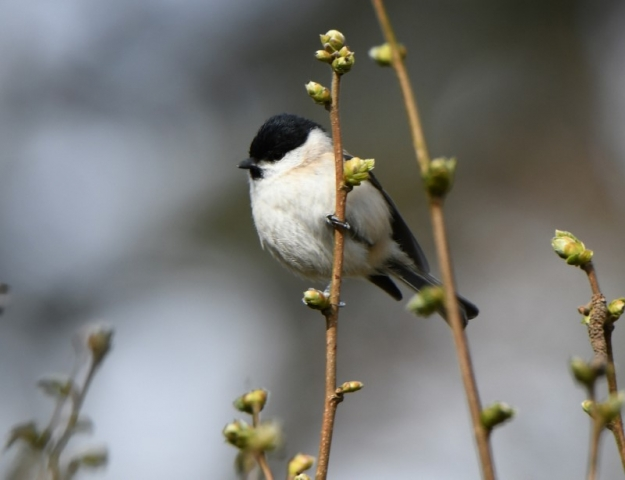 Marsh Tit by Dave Levy - Apr 5th, Dummer