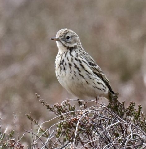 Meadow Pipit by Rob Porter-April 14th, Acres Down, N.F