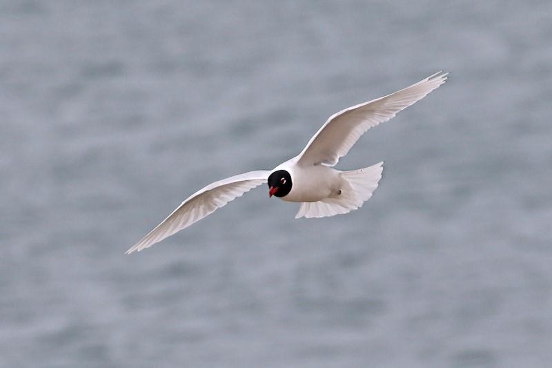 Mediterranean Gull - Eastney 10th April C Rose