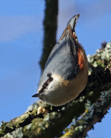 Nuthatch - Four Marks 7th April C Rose