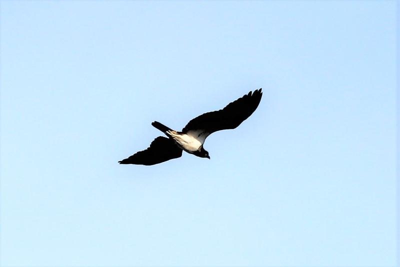 Osprey by Brian Cartwright, 30th Mar Anton Lake
