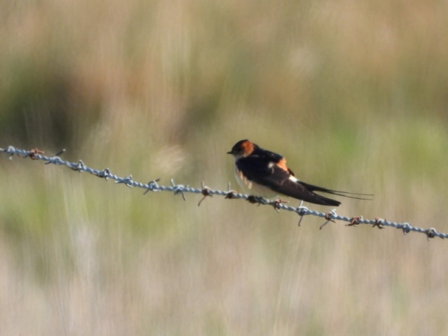 Red-rumped Swallow by David Roden - Apr 29th, Farlington Marshes