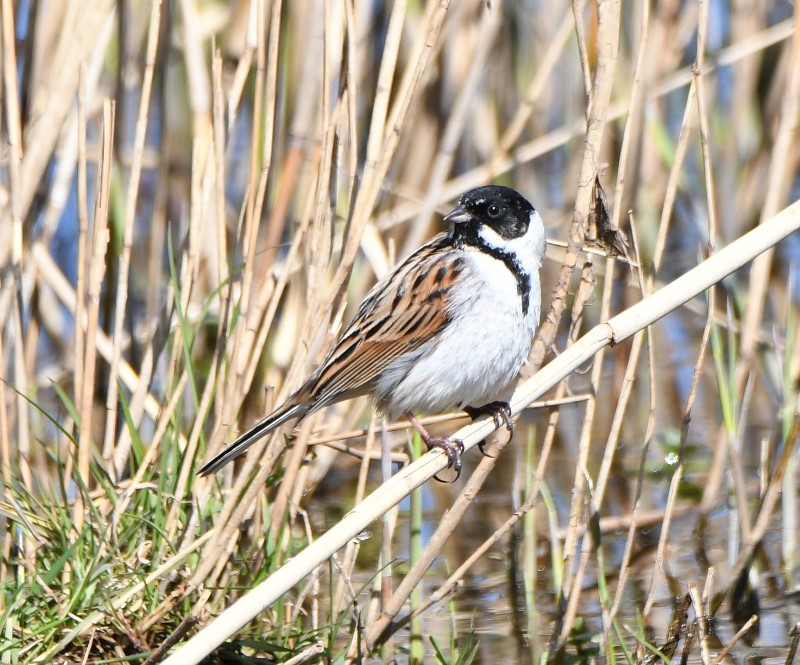 Reed Bunting by Dave Levy - Apr 4th, Edenbrook CP