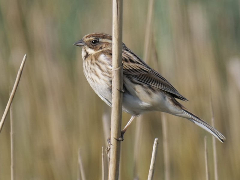 Reed Bunting by Rob Porter-April 9th, Lower Test Marshes