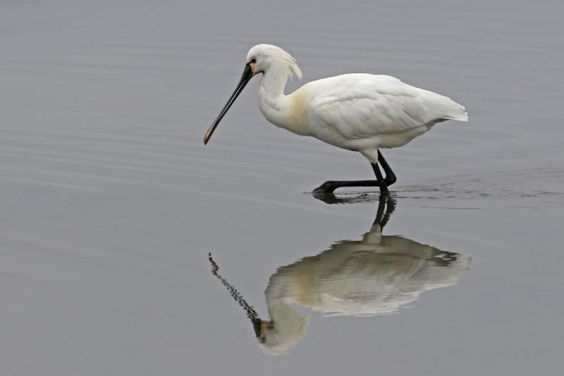 Spoonbill - Saltern's Marsh 20th March C Rose